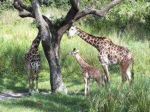 Baby giraffe and family.