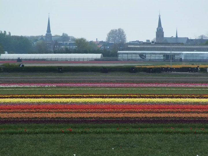 Flower fields outside Keukenhof Gardens.