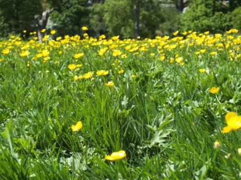 A patch of buttercups.