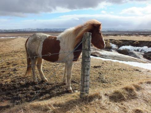 Icelandic horse hanging out in the wind.