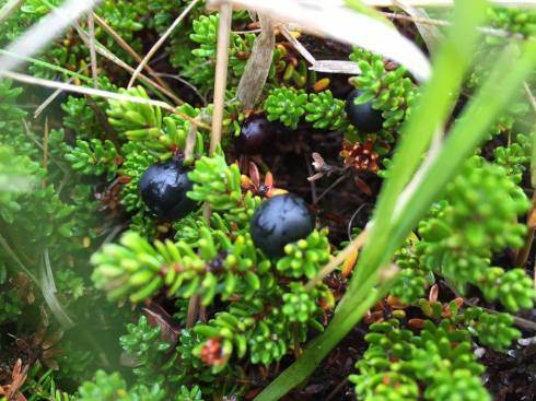 Crowberries.